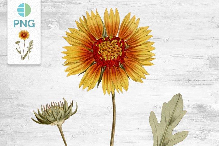 Sunflower Clipart Flowers Vintage