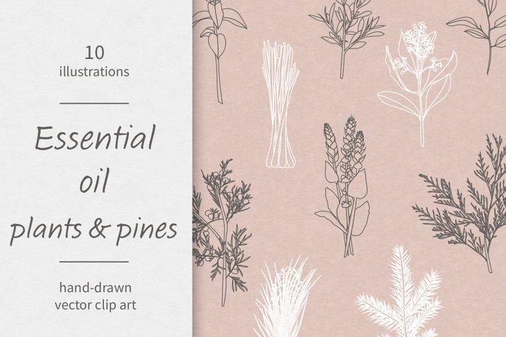 Essential oils / Plants / Pines / Vector / Clip art