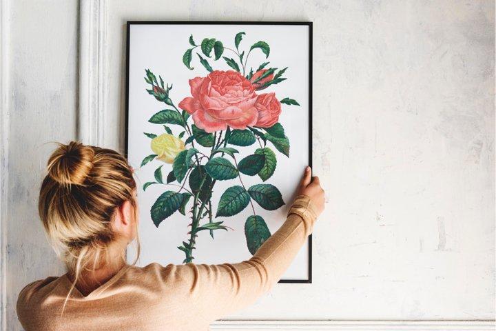 Red Vintage Rose, Botanical IlIustration