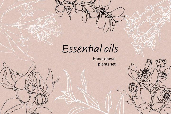 Essential oils plants clip art / Botanical illustrations