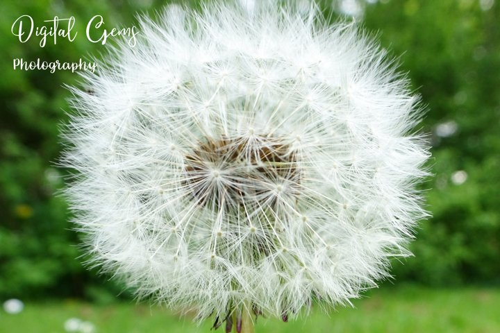 Dandelion clock photograph