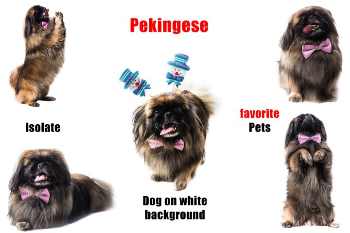 Funny Pekingese on a white background