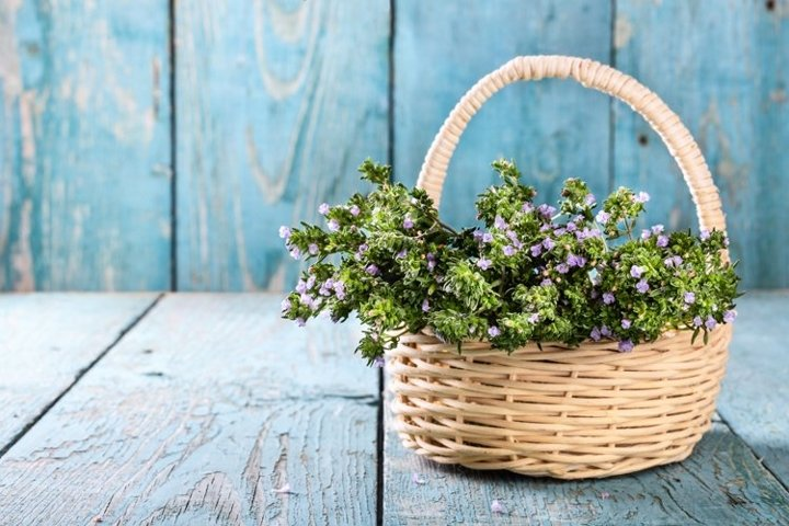 Fresh thyme in a basket over blue rustic wooden table.