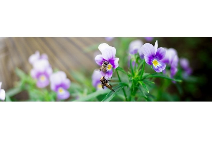 Two small wasps collects nectar from purple pansy flowers