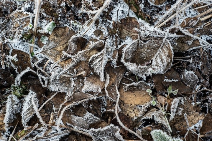 Natural frost crystals on dry leaves, Rime. Late fall