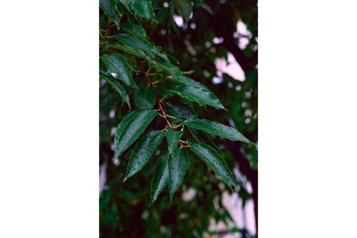 Fresh leaves with water drops after rain. Natural background