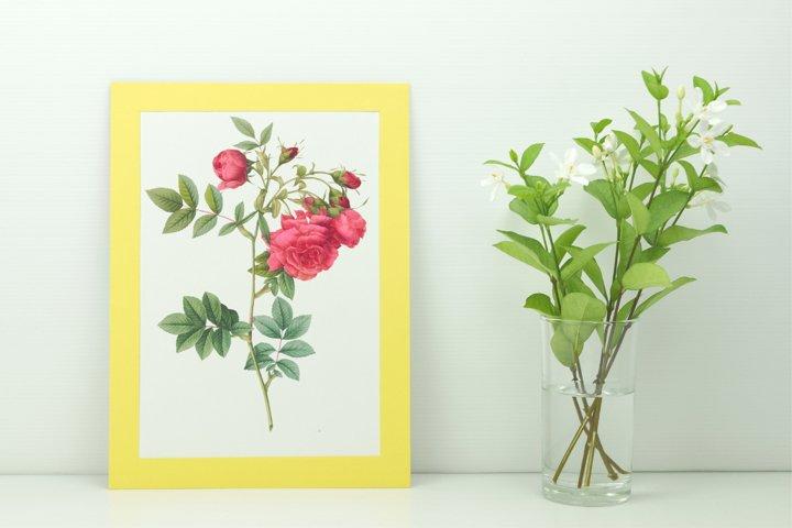 Red Vintage Flowers, Botanical IlIustration, Vintage Rose