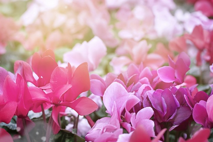 Blurred natural Pink purple flowers background