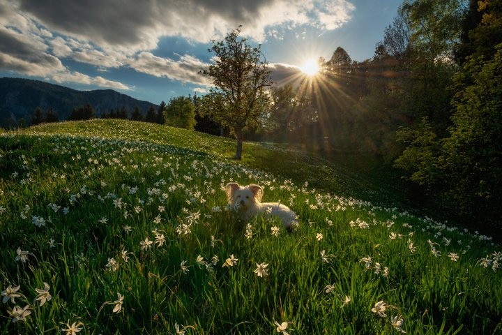 Dog among the daffodil flowers at sunset