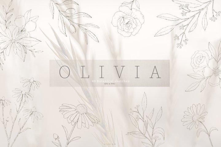Olivia botanical sketch vectors, hand drawn, illustrations