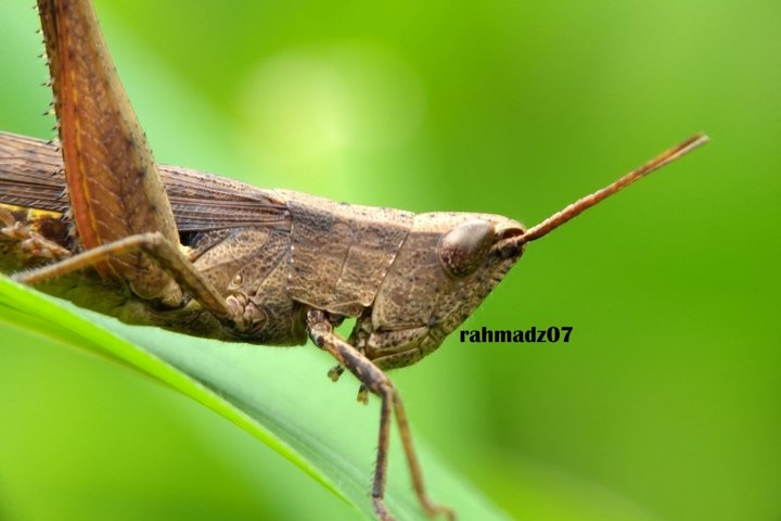 Close up of Grasshopper Against Green Background