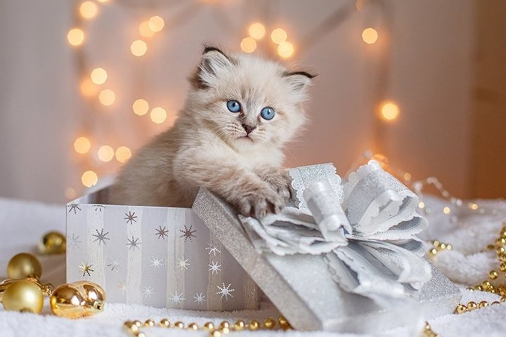 kitten sitting in a gift box, Christmas background