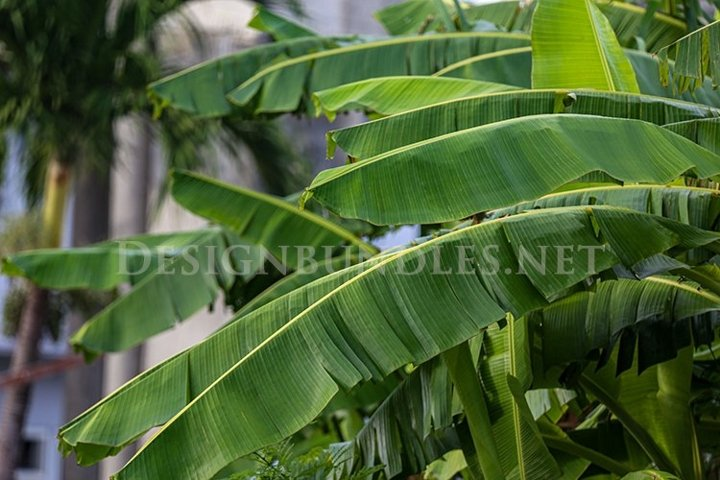 Banana trees in the forest