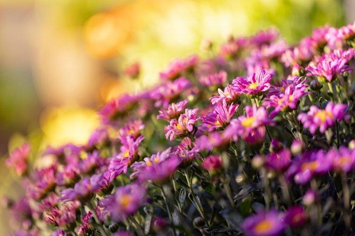Mums - Purple Chrysanthemum Flowers