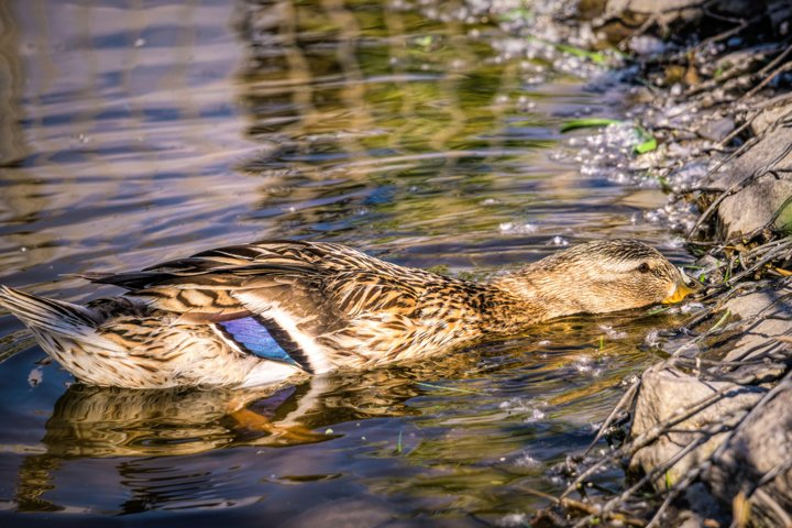 Wild duck floating on the water near the shore