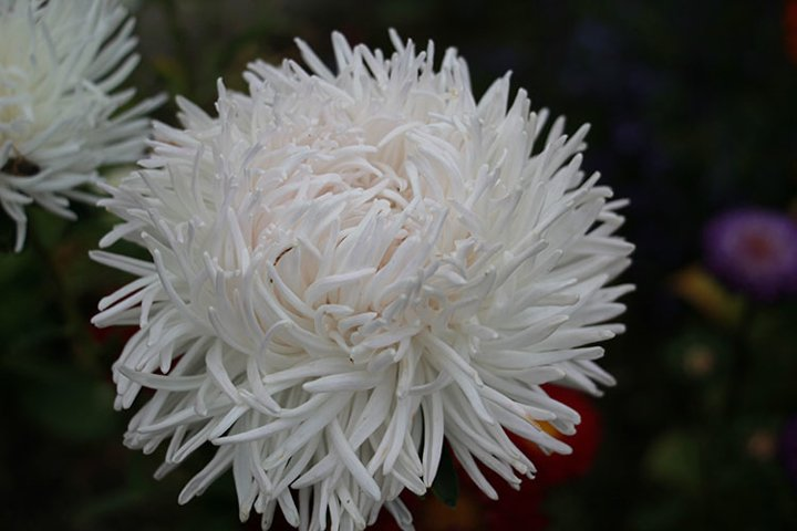 white asters in the garden