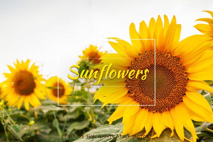 Sunflowers. Pack of 20 photos.