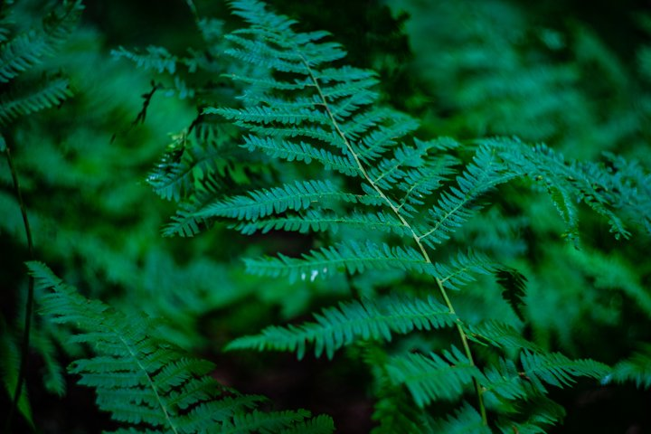 Natural background with green leaves of fern plant