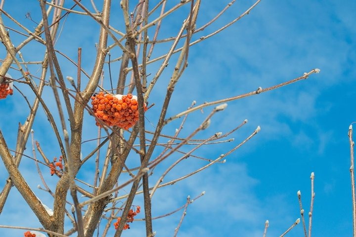 A bunch of ash berries in winter under blue