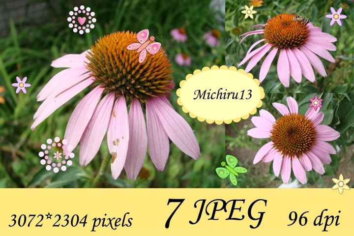 7 Echinacea flowers - coneflowers close up in the garden