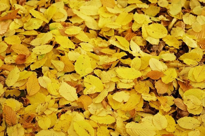 golden yellow autumn leaves background
