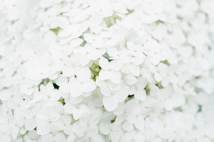 Background of white hydrangea flower in the summer