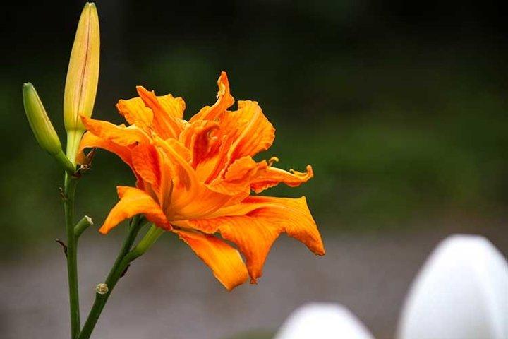 Orange Lilies floral bloom