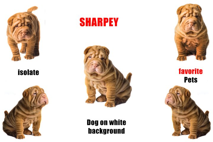 Sharpes puppy on a white background