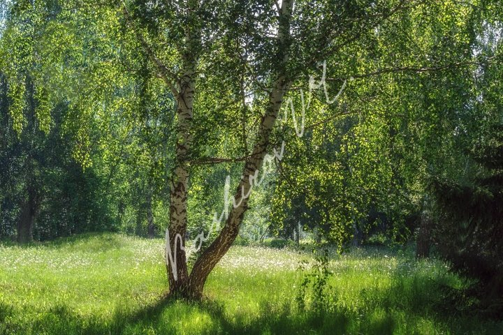 Birch on the grass under the sunlight
