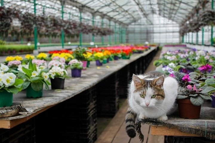 A white cute kitty sits in a greenhouse next to the violet