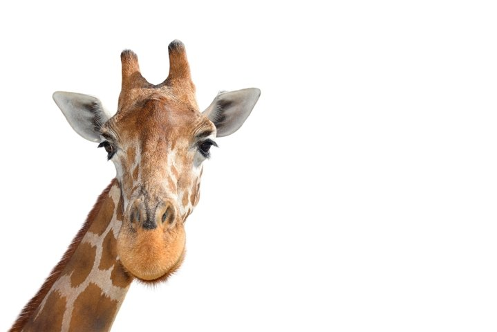 Portrait of Young funny giraffe head close up isolated