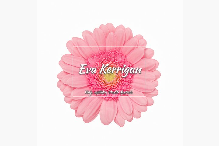 Delicate pink gerbera flower isolate at white background.