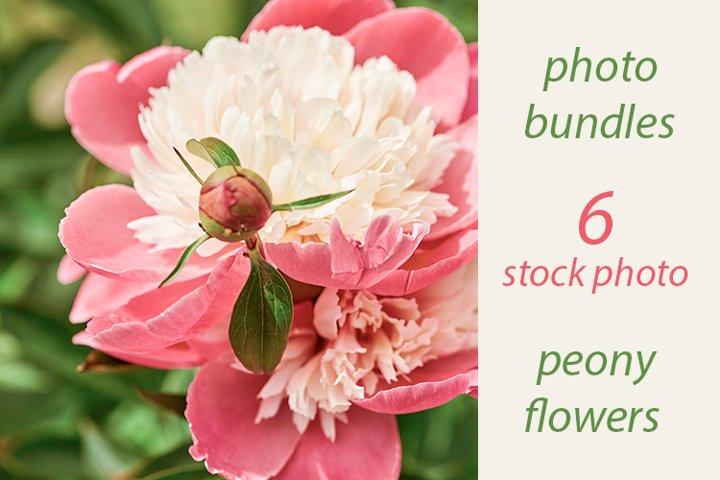 peony flowers in the garden. photo bundles