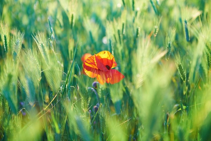 Red poppy on the green field with wheat