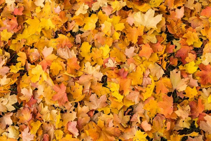 bed of colorful fall a leaves