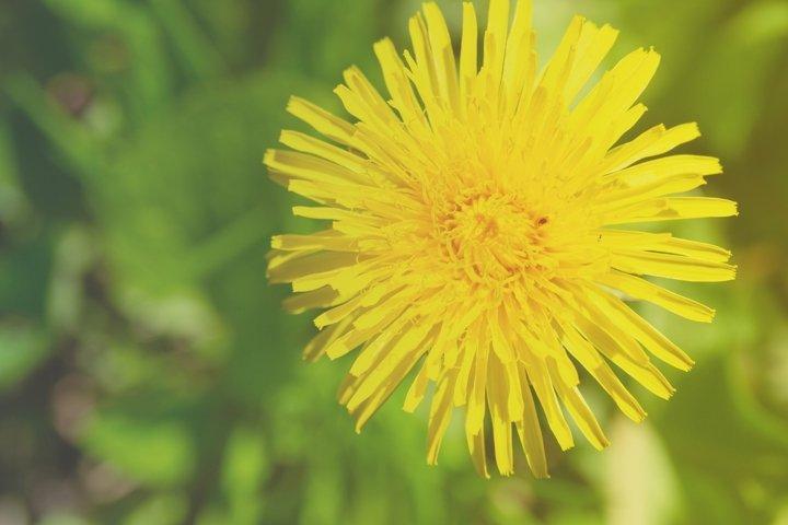 Yellow dandelion in the sunlight