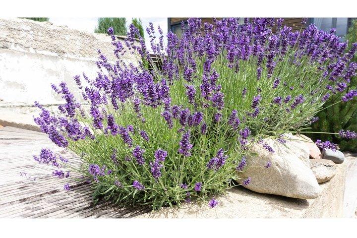 Lavender bushes in provence garden