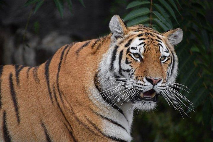 Close up Portrait of Siberian Tiger