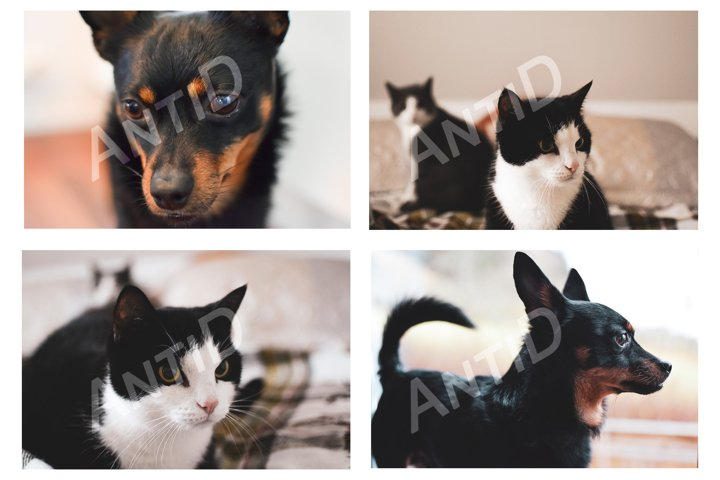 A set of 4 images. Cat and dog.