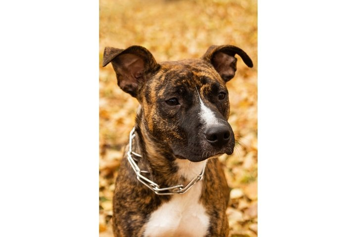 Portrait of brindle Staffordshire terrier in park.