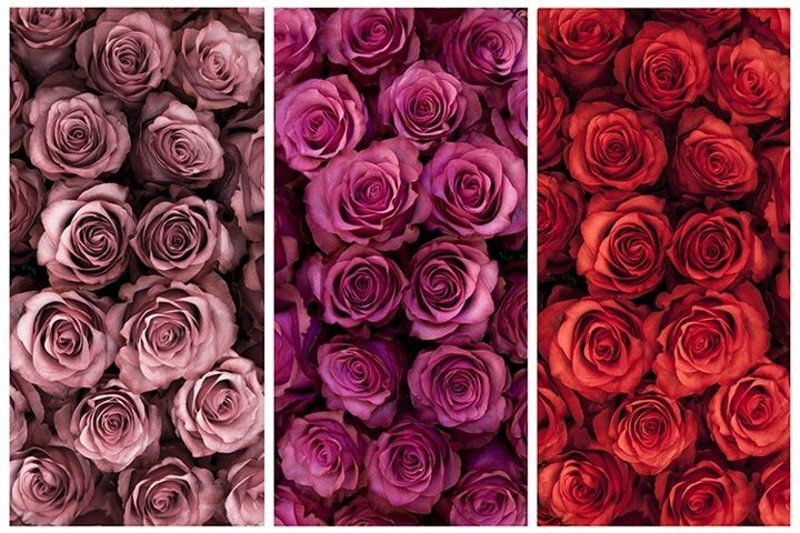 A collage of fresh pink and red roses