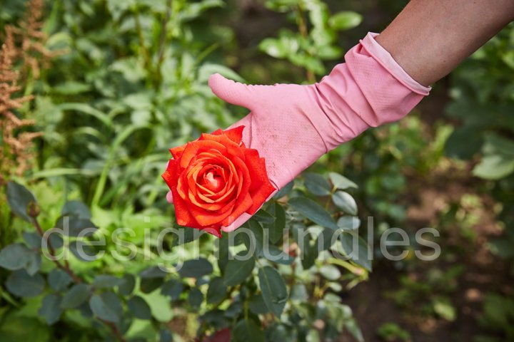 a farmers gloved hand shows a grown rose.
