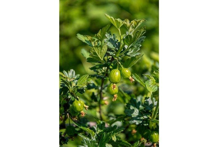 Green juicy berries