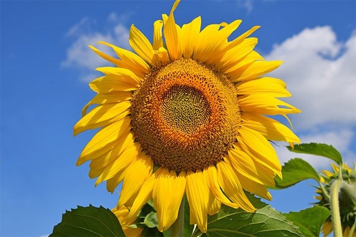 Yellow Young Sunflower Over Blue Sky