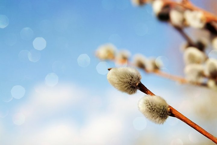 Spring willow against the blue sky and bokeh