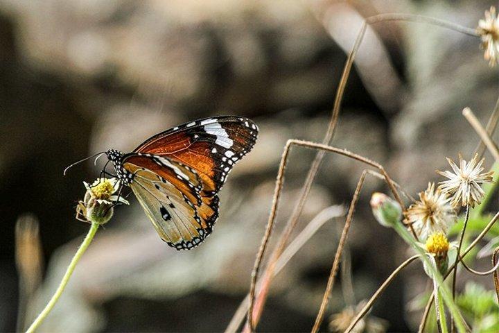 closeup of Tortoiseshell Butterfly