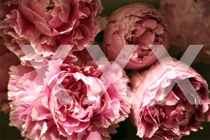 peonies close-up