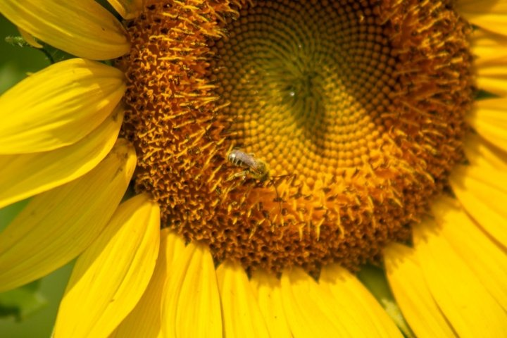 Sunflower And Pollinating Bee Stock Photo