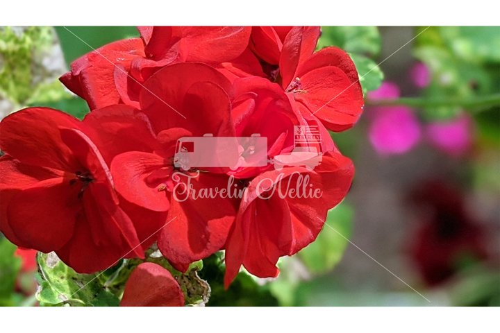 Stock Photography, Spring Flowers, Floral, Red