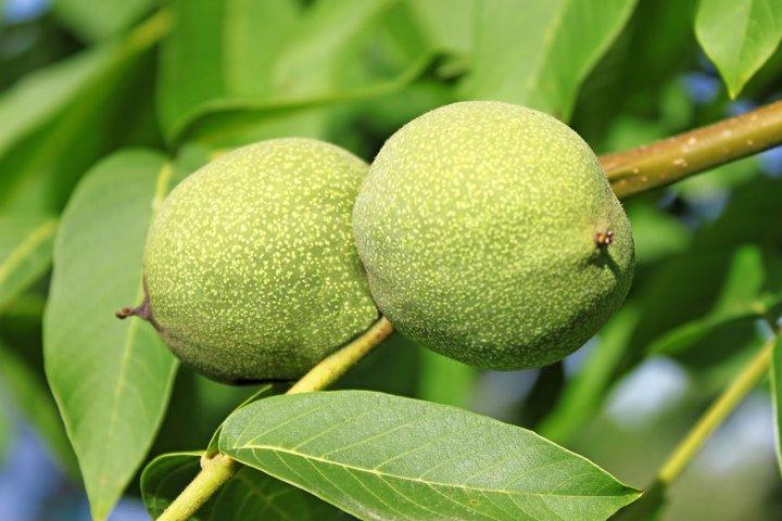 Green walnut pair between leaves